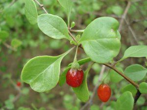 Lycium sp. 2